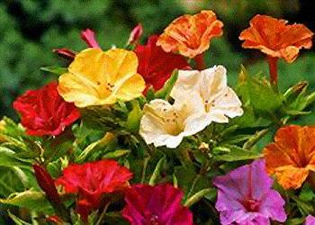 Цветы ночная красавица желтая 24